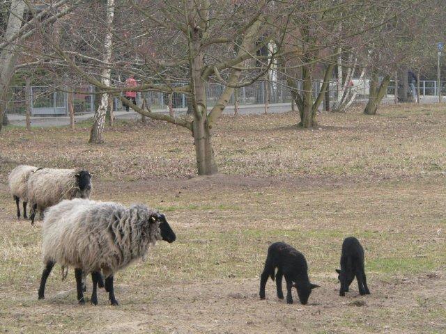 Sheep grazing at Landscape Park Herzberge. Photo: http://www.tier-fotos.eu/name/tier-bild/3712/kategorie/Haus-+und+Nutztiere~Schafe~Rauhwolliges+Pommersches+Landschaf.html